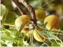 Marula Fruit